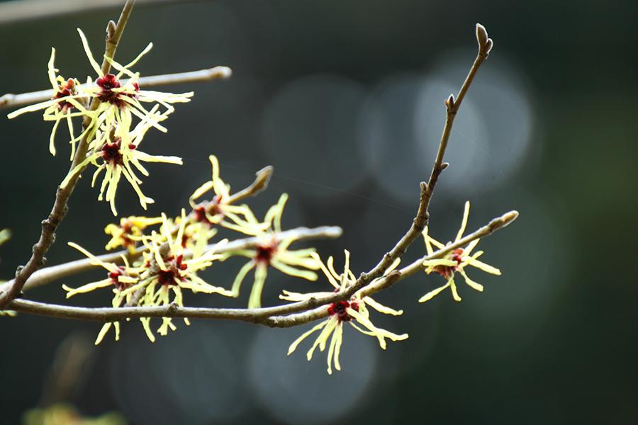 まんさくの花